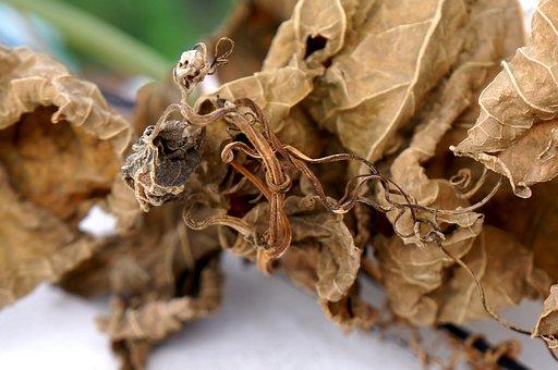 Dry Leaves, Blight, Background