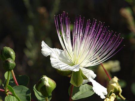 Flower, Caper, Plant, Nature, Mediterranean, Capparis