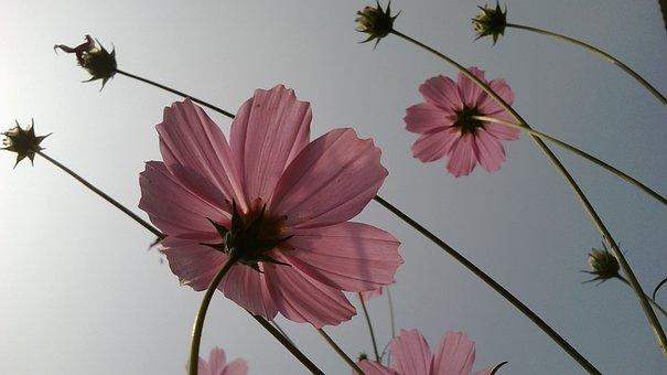 Pink Flower, Focus, Flower, Translucent