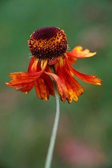 Flower, Nature, Gaillardia Pulchella