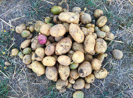 Potatos, Potatoes, Harvest, Field, Cultivation