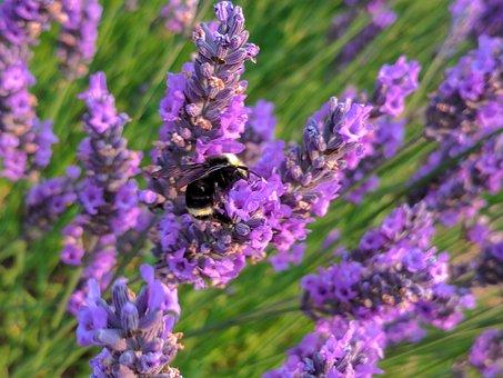 Lavender, Bee, Flower, Purple, Honey, Insect, Garden