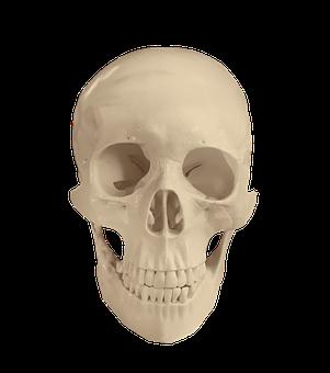 Skull, Anatomy, Bones, Medical, Study, Osteology, Bone