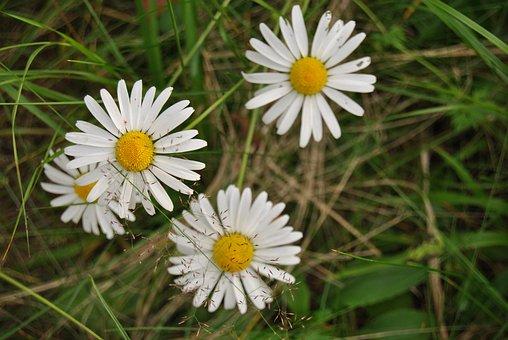 Daisy, Flower, Natural Flower, Finnish, Summer