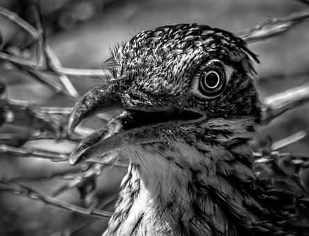 Nature, Roadrunner, Bird, Wildlife, Southwest, Predator