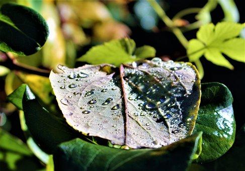 Leaf, Drops, Raindrops, Dew, Plant, Plants, Rain
