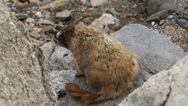 Marmot, Mountain, Summer, Colorado, Elevation, Evans