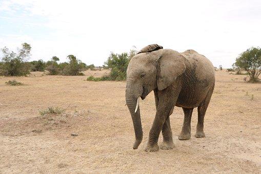 Elephant, Safari, Africa, Wildlife, Animal, Wild