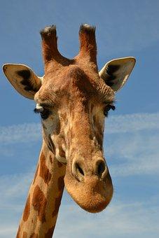 Giraffe, Savanna, Animal, Zoo, Africa, Giraffe Head