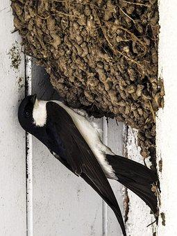 Martin, Schwalbe, Nest, Bird, Nature, Animal