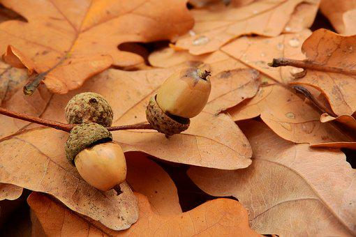Acorns, Acorn, Autumn Leaves, Autumn Colors, Autumn