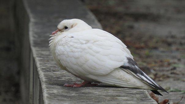 Pigeon, Animals, Nature, Bird, Birdie, Animal, Birds