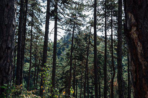 Nature, Conifers, Crowns, Day, Floor, Forest, Glade