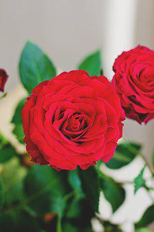Nature, Dutch, Flowers, Red, Rose, Roses