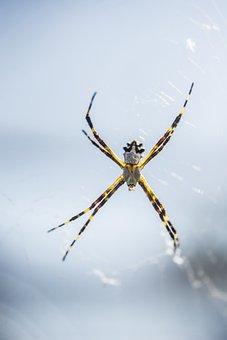 Spider, Insect, Nature, Eight Legs, Web, Spider Zancuda