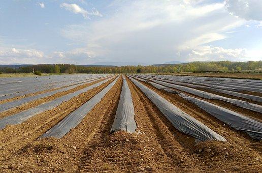 Esparragueras, Asparagus, Cultivation, Field