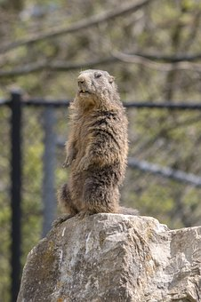 Marmot, Zoo, Stand, Keep An Eye Out, Wildlife Park