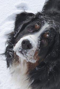 Dog, Bernese Mountain Dog, Canine, Friend, Pet