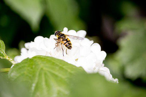 Insect, Blossom, Bloom, White, Close, Spring, Fly