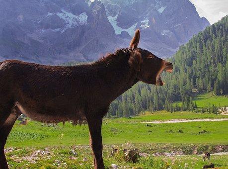 Donkey, Animals, Mountain, Trentino, Scream, Nature