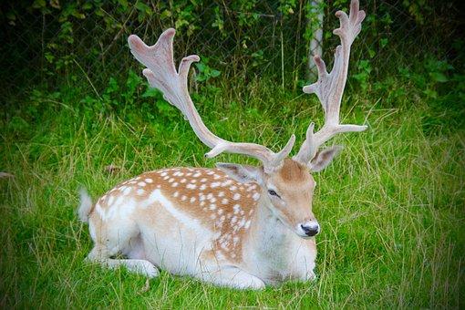 Antlers, Buck, Wildlife, Animal, Stag, Male, Field