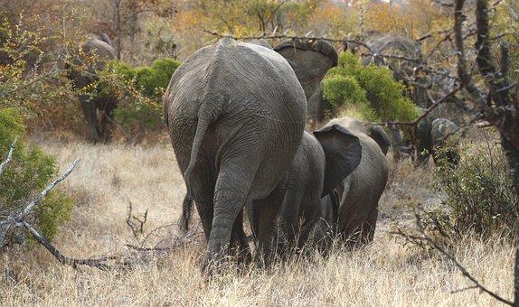 Elephants, Herd, Wildlife, Wild, Africa, Nature, Mammal
