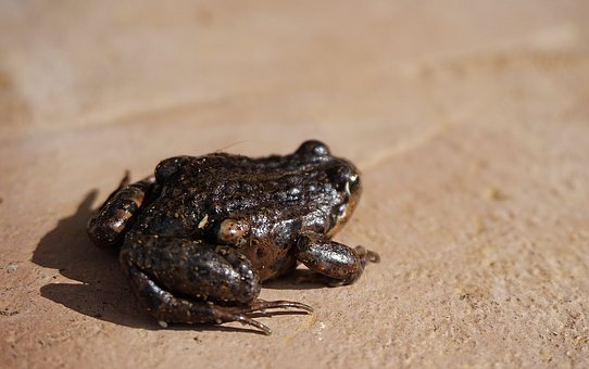 Frog, Toad, Amphibious, Animal, Nature