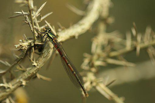 Damselfly, Branch, Dragonfly, Insect, Nature, Wildlife