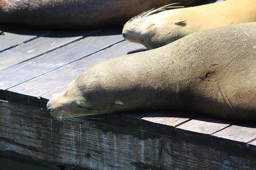 Crawl, Sun, San Francisco, Sea Lion, Concerns, Relax