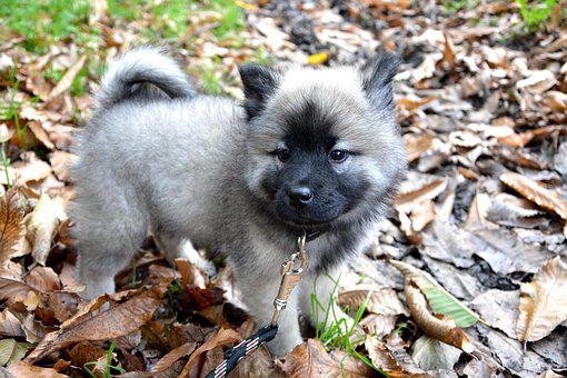 Puppy, Pup, Eurasier, Domestic Animal, Animal, Mascot