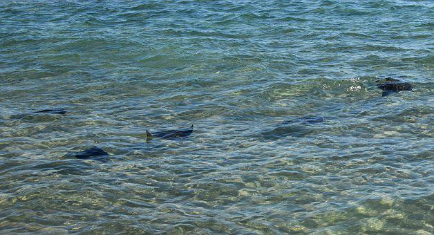 Stingrays In The Surf, Stingray, Fish, Migration