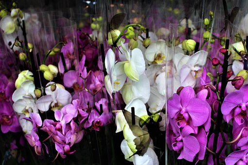 Orchid, Flowers, Flower, Potted Plant, Orchids
