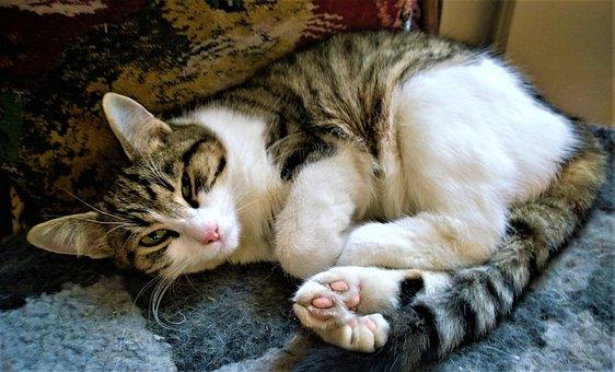 Cat, Animals, Cat Face, Striped Cat, Pets, Cute Cat