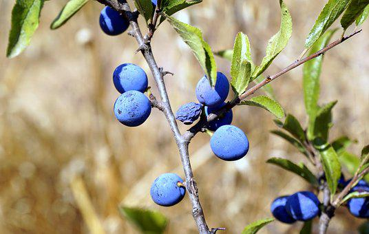 Berries, Blue, Vegetation, Bluish, Blueberry, Spring