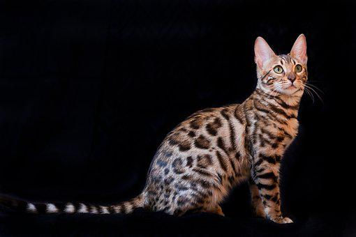 Bengal Cat, Kitten, B, Cat, Bengal, Pet, Bengali