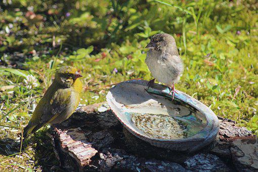 Green Finches, Bird World, Sweden