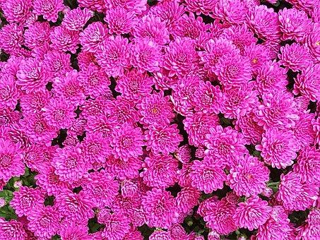 Autumn, Pink, Beautiful, Pink Flower, Bright, In Autumn