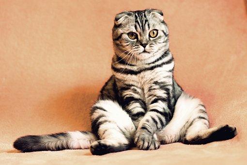 Shotlanskogo, Fold, Cat, Kitten, Pets, British Cat