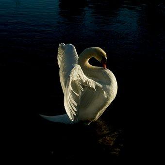 Swan, Dawlish, Texture, Bird, Black, Devon, Grass