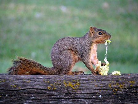 Squirrel, Hedge Apple, Eat, Rodent