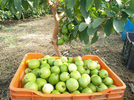 Guava, Fruits, Guava Picking, Guava Farming