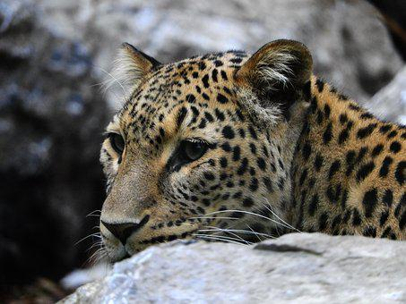 Leopard, Stone, Zoo, Mammal, Cat, Noble, Fur