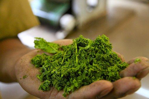 Herbal Tea, Green, India, Prickly Pears, Nature, Cactus