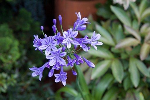Agapanthus, Nature, Purple Flower, Plant, Flowering
