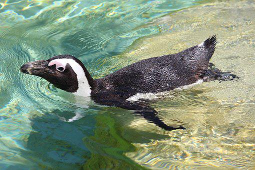Penguin, Water, Zoo, Animal