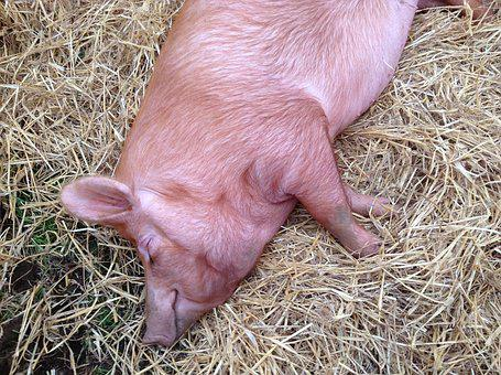 Pig, Sow, Farm, Livestock, Piggy, Hog, Asleep, Sleeping