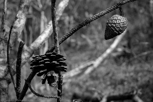Seed, Pine, Branches, Nature, Black White