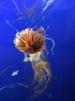 Jellyfish, Sea, Salt Water, Diving, Cnidarian