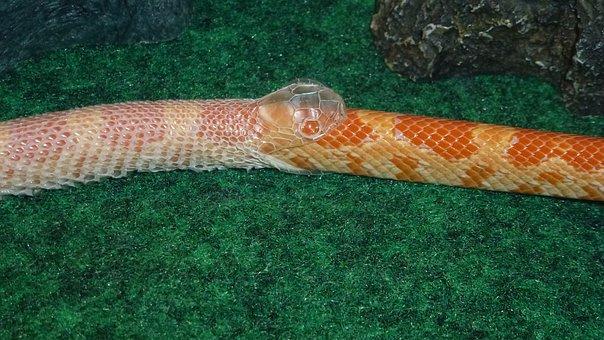 Snake, Serpent, Snake Shedding Skin, Reptile