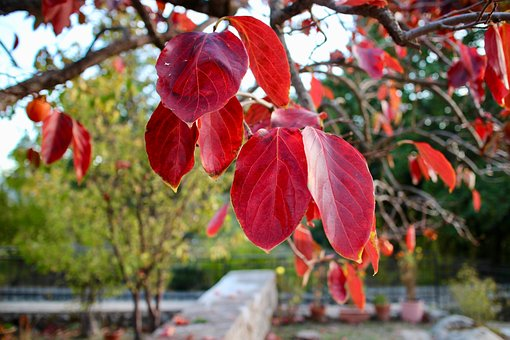 Leaves, Plant Persimmon, Autumn, Winter, Nature, Trees